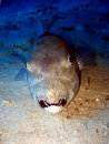 Free Giant Puffer Fish Royalty Free Stock Image - 3769976