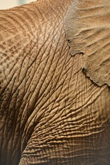 Free Elephant Skin And Ear Royalty Free Stock Photography - 3760687
