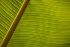 Free Banana Palm Leaf Closeup Stock Image - 3761571