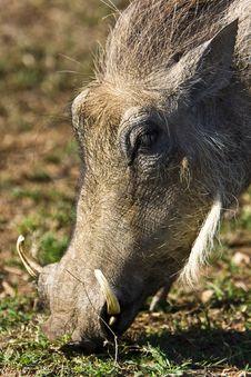 Warthog Grazing Royalty Free Stock Image