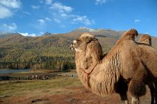 Free Camel Royalty Free Stock Photo - 3762885