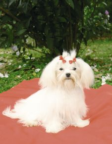 Free Maltese Dog Royalty Free Stock Photography - 3763527