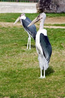 Free Maribou Storks Royalty Free Stock Image - 3763546