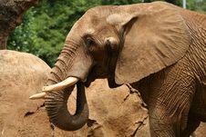 Free Elephant 3/4 View Royalty Free Stock Photos - 3763548