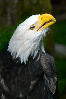 Free American Bald Eagle Looking Up Stock Image - 3763621