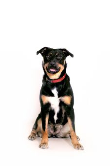 Free Rottweiler Royalty Free Stock Images - 3765439