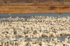 Flock Of Snow Geese Royalty Free Stock Photography