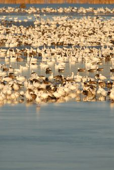 Free Snow Goose Refuge Stock Image - 3766801