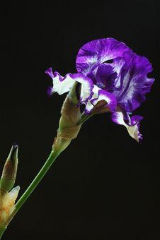 Purple Iris Flower Stock Images