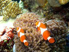 Nemo S Parents Royalty Free Stock Photos