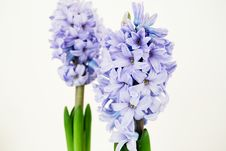 Free Two Purple Hyacinths Stock Photo - 3769070