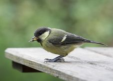 Juvenile Great Tit Royalty Free Stock Photos