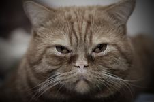 Free Cat Face Royalty Free Stock Photography - 3769827
