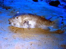 Free Giant Puffer Fish Stock Photography - 3769952