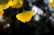 Free Ginkgo Leaves In Autumn Royalty Free Stock Photography - 3770027