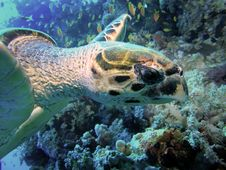 Free Head Of Green Turtle Royalty Free Stock Photos - 3771118