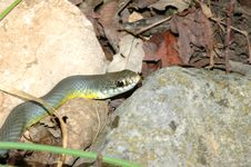 Free Western Yellow-Bellied Racer Stock Photography - 3771222