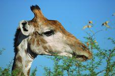 Free Giraffe (Giraffa Camelopardalis) Royalty Free Stock Images - 3771359