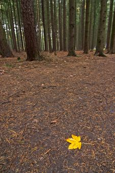 Free Maple Leaf Stock Photos - 3771573