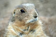 Free Prairie Dog Royalty Free Stock Photo - 3774675