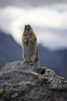 Free Mountain Squirrel Stock Image - 3775011
