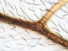 Free Microscopic Honey Bee Wing Stock Photography - 3775322