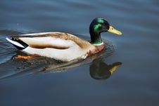 Mallard Duck Swimming In A Pond Stock Images