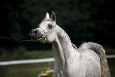 Free Arabian Horse Stock Photography - 3777102