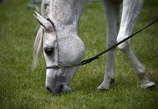 Free Arabian Horse Royalty Free Stock Photography - 3777207