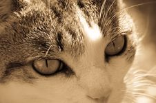 Free Cat Stare Royalty Free Stock Images - 3777569