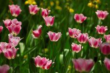 Free Tulip Stock Images - 3777904