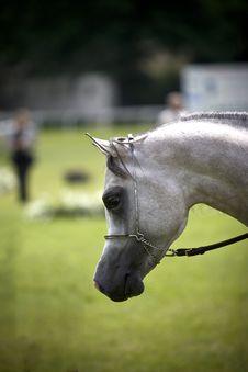Free Arabian Horses Stock Images - 3778074