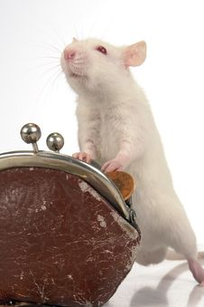 Free Rat Stock Images - 3778924