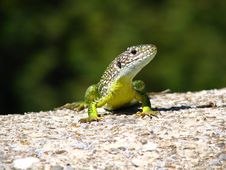 Free Green Lizard Royalty Free Stock Image - 3779366