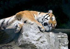 Free Amur Tiger 6 Royalty Free Stock Photo - 3779445