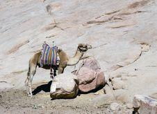 Free Bedouin Camel Stock Photos - 3779713