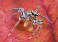 Free Jumping Spider On Leaf Stock Images - 3780724