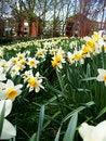 Free Daffodils Park Scene Stock Photography - 3785642