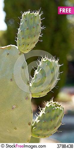 Free Cactus Royalty Free Stock Photos - 3788438
