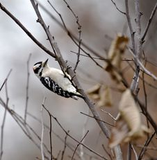 Free Downy Woodpecker Royalty Free Stock Photo - 3780285