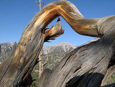 Free Bristlecone Pine Royalty Free Stock Photos - 3780468