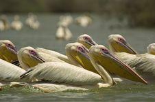 Free Pelican Royalty Free Stock Photo - 3781255