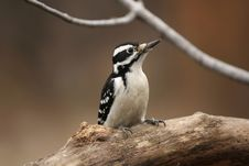 Free Female Downy Woodpecker Stock Images - 3781644