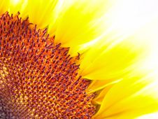 Free Beautiful Sunflower Flower Head Royalty Free Stock Image - 3784236
