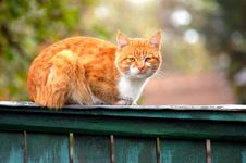Free Red Cat Stock Images - 3785044