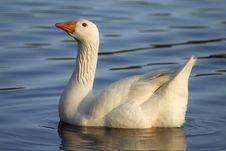 Free White Goose Stock Photos - 3787183