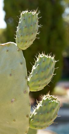 Free Cactus Royalty Free Stock Photos - 3788438
