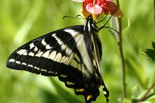 Free Swallowtail Butterfly Royalty Free Stock Photo - 3788735