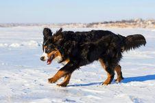 Bernese Dog Run Stock Images