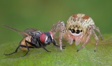 Free Jumping Spider And Fly 3 Royalty Free Stock Images - 3791659
